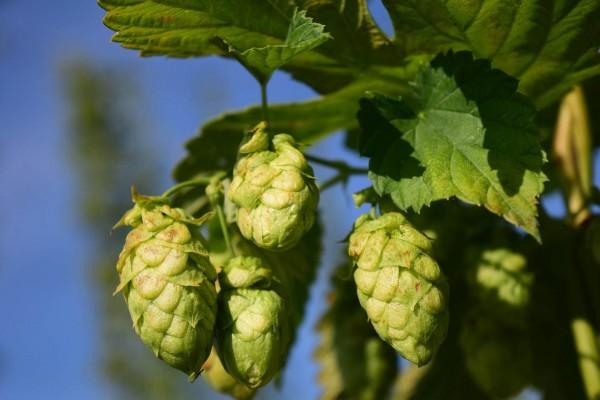 Hopfen-zum-selber-Bier-brauen-angepasst
